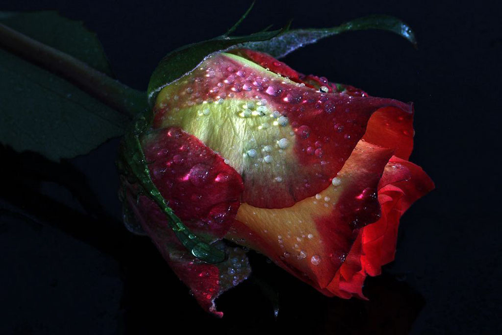 Almas-Bavcic-a-rose-in-the-dark2.jpg
