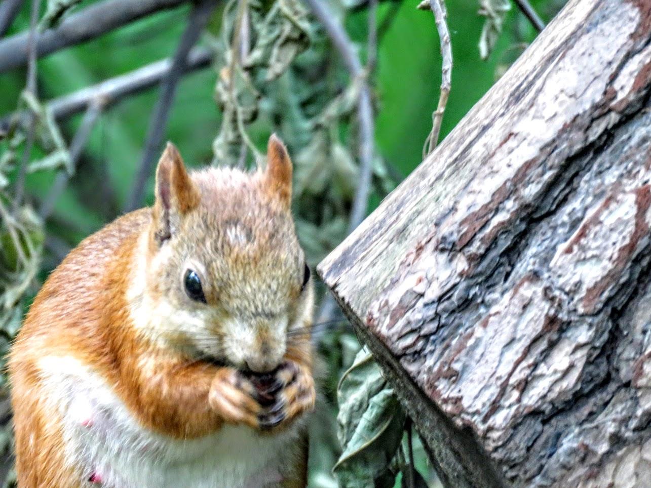 Случайно удачная фотоохота в сосновом бору - рыжая белочка, дроздёныш, бурундук IMG 3909