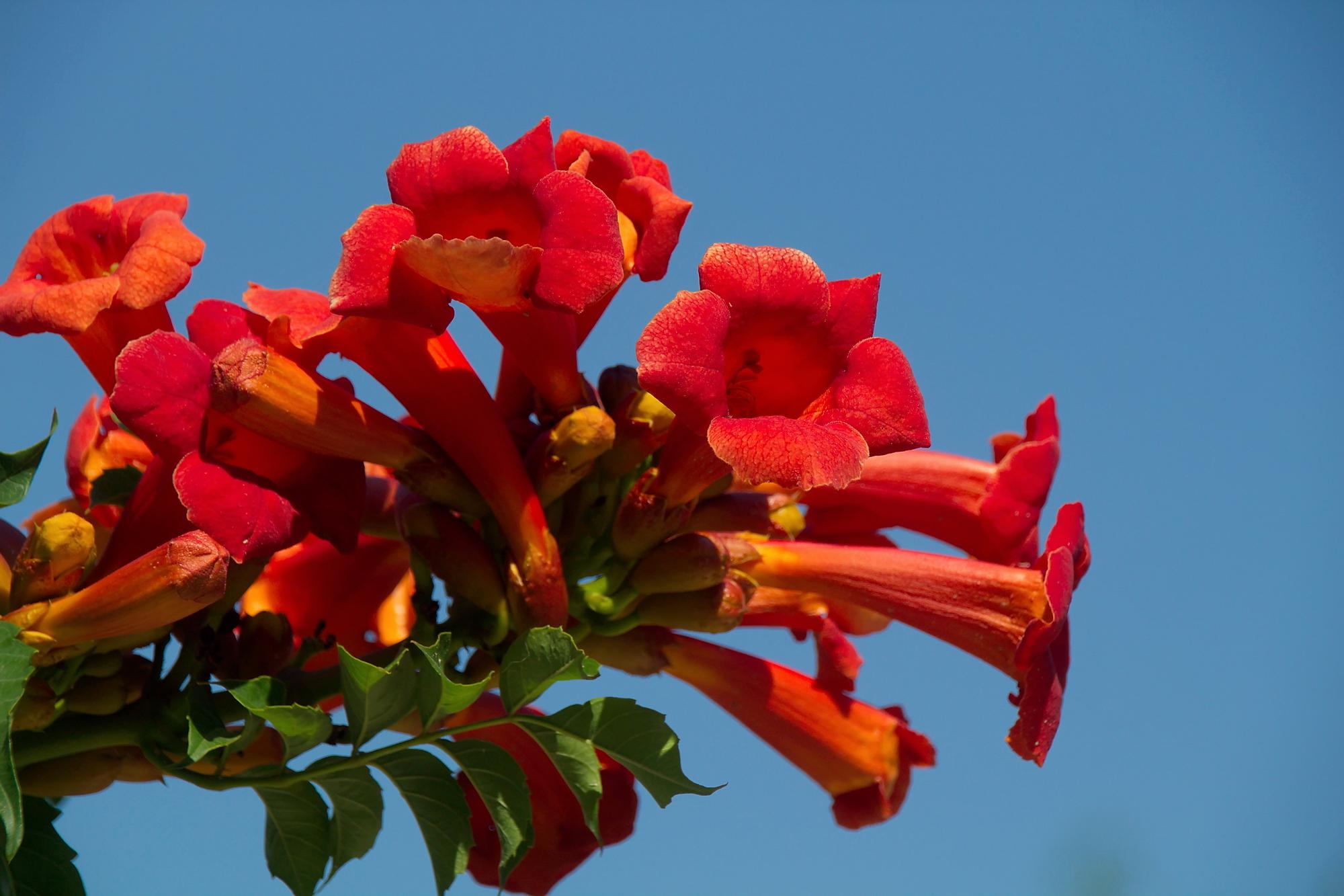 лето, июль, 2020, оранжевые цветы, кампсис