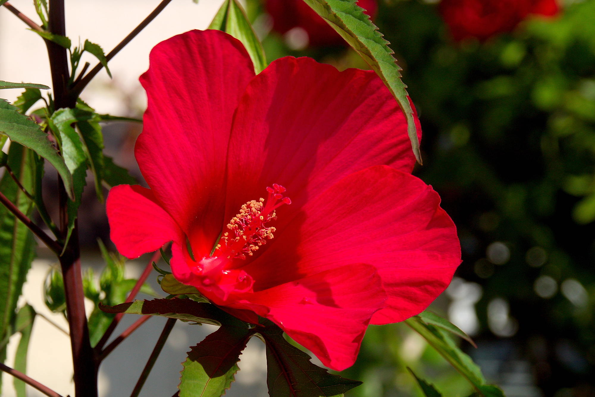 красные цветы, лето, июль, 2020
