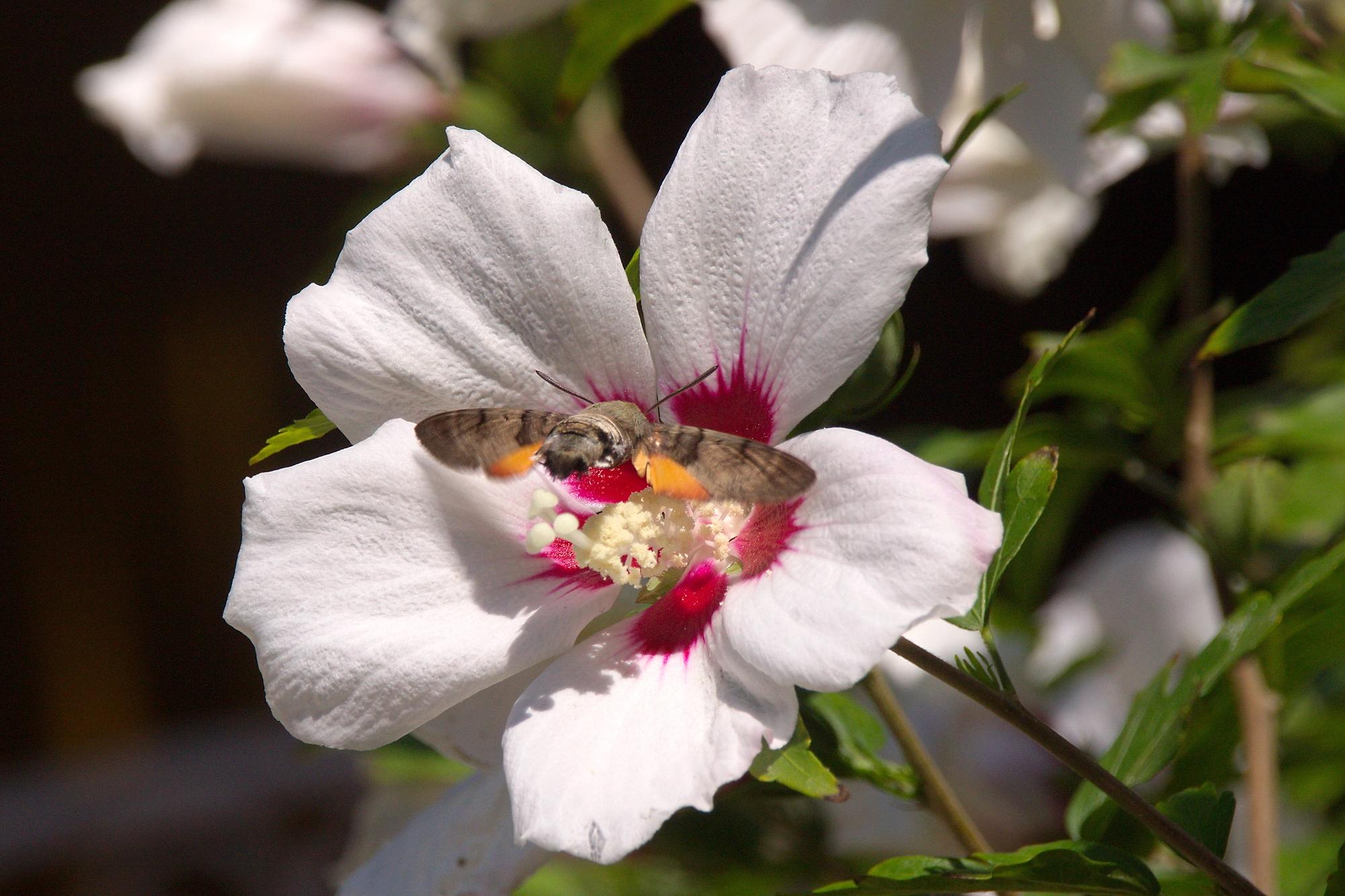 2020, лето, июль, белые цветы, взяток, бражник, бабочки