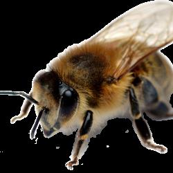 Honey_040_Bees---KOPIY-7.th.png