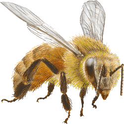 honey-bee-clipart-i9-KOPIY.th.png